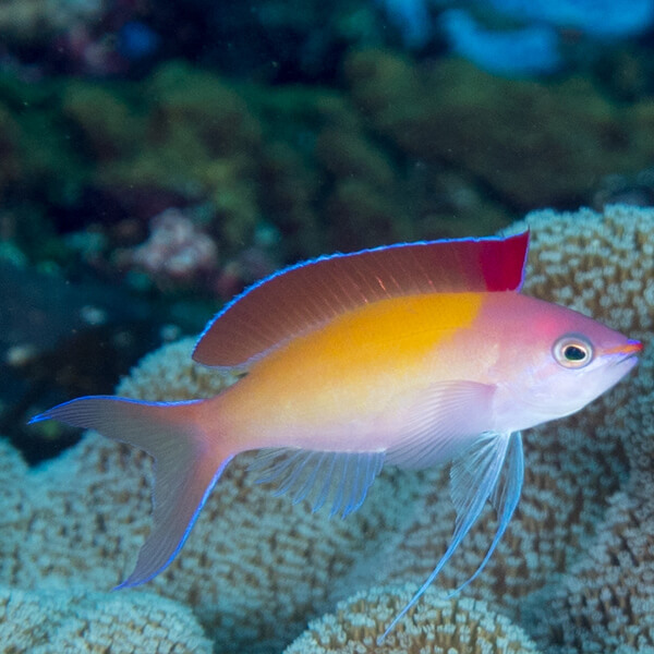 Anthias Bartlett