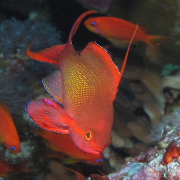 Anthias Lyretail